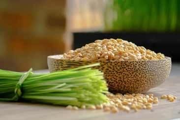 Ростки пшеницы, витграсс - Траварт