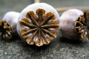 Мак пищевой, мак кондитерский, семена мака, опиум — Траварт
