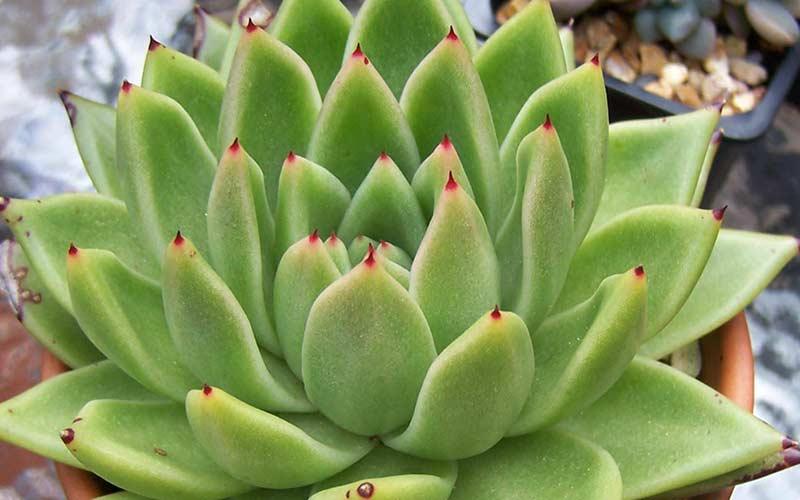 Эхеверия Агавовидная Рубра (Echeveria Agavoides Rubra)