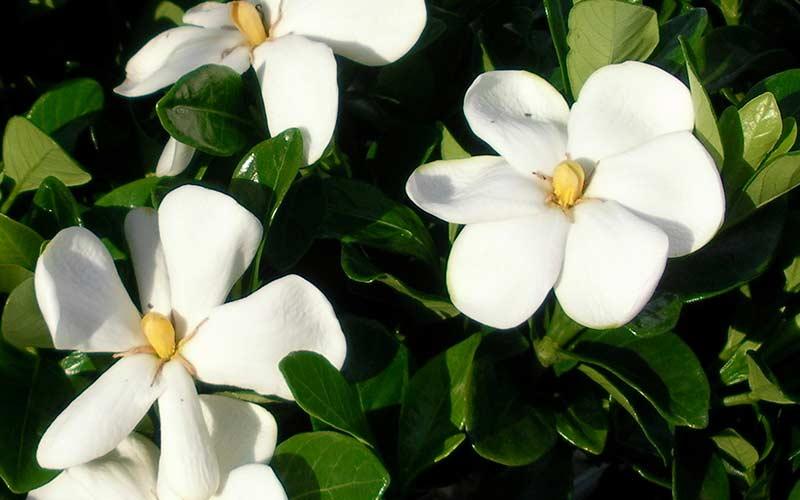 Гардения Грандифлора (Grandiflora)
