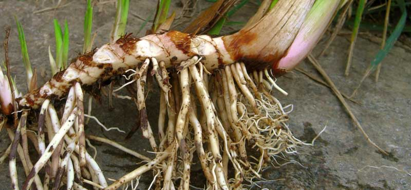 корень аира болотного