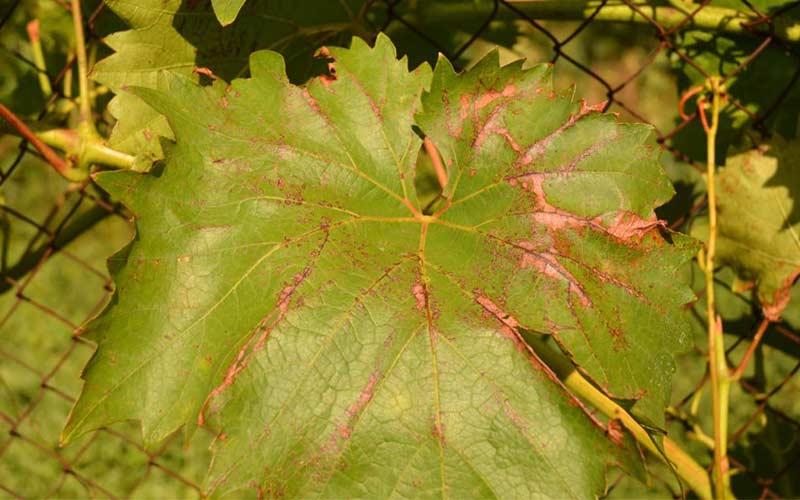 Антракноз на виноградном листе