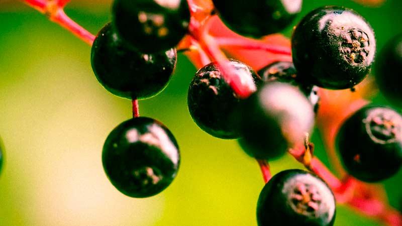 Бузина черная ягоды