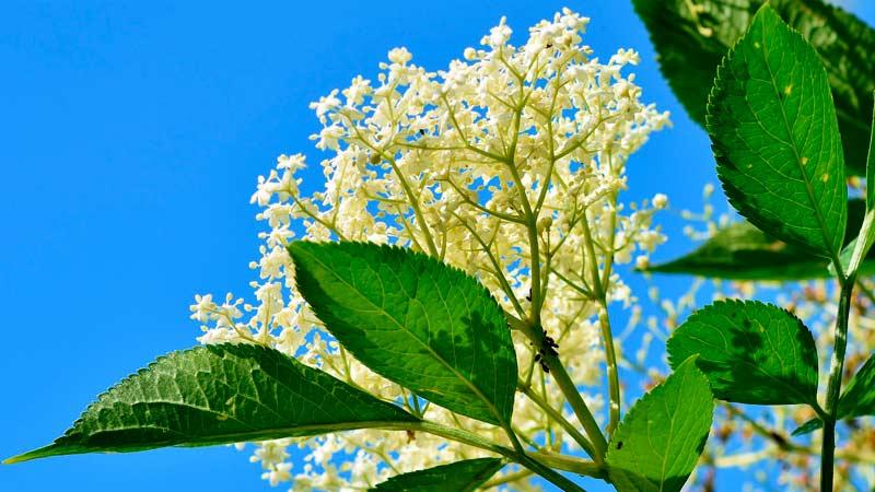 Бузина цветы