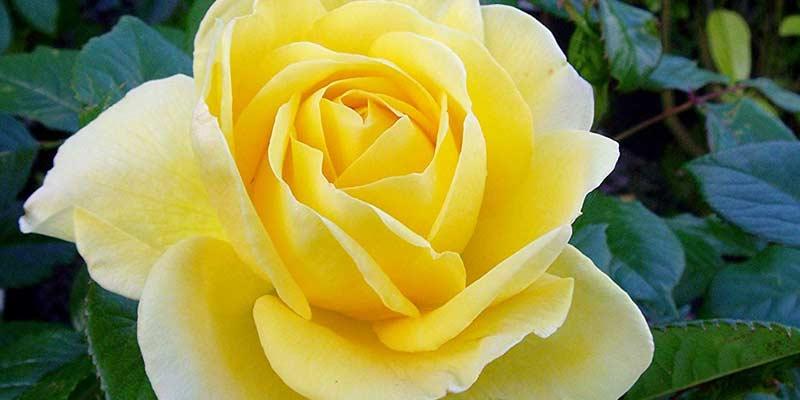 Чайно-гибридная роза Голден