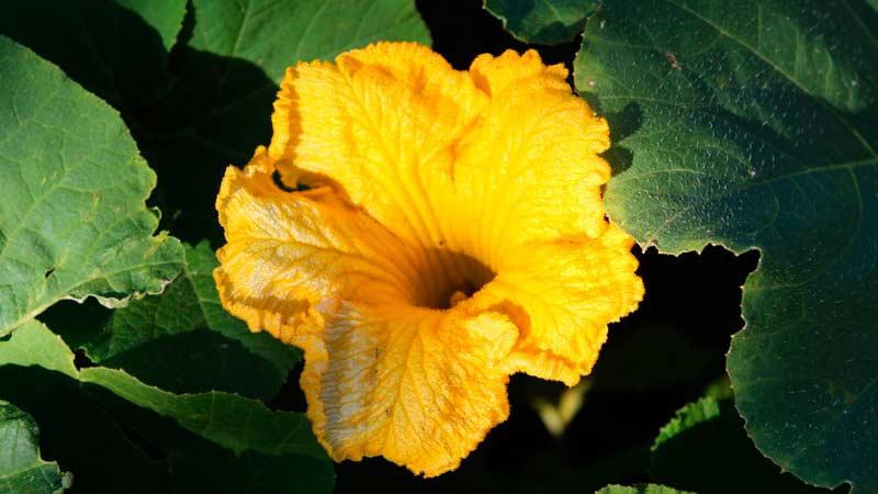 цукини цветок Кабачок цветок