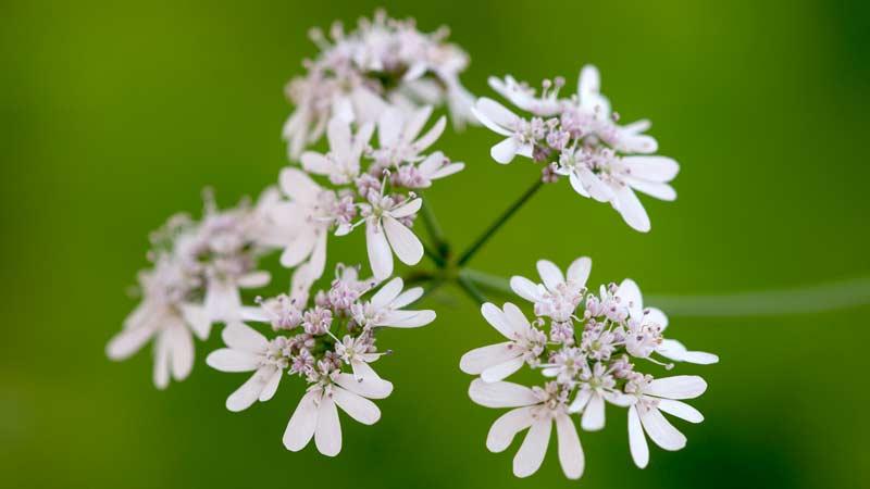 цветок кинза или кориандр Траварт travart.ru