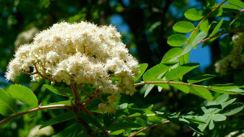 Цветы рябины Траварт travart.ru
