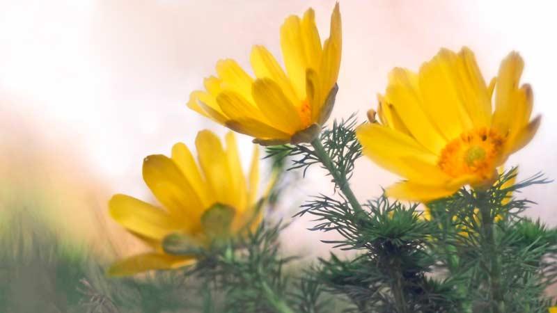 Адонис весенний (горицвет весенний) — Adonis Vernalis