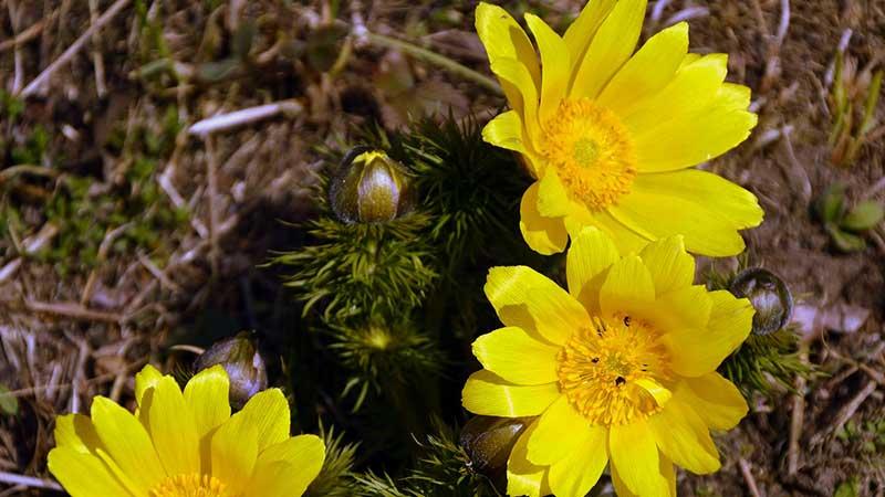 Адонис весенний лечебные свойства и противопоказания