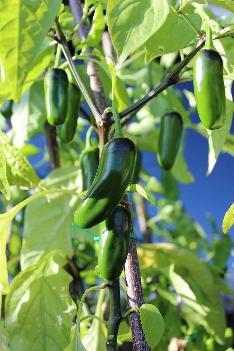 Как растет перец Халапеньо