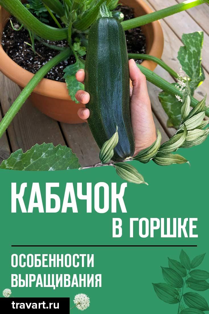 Как вырастить кабачки в горшке