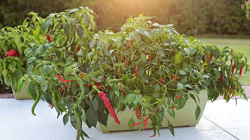 выращивание перца