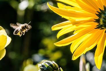 как привлечь пчел