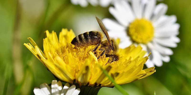 Пчела собирает нектар с одуванчика
