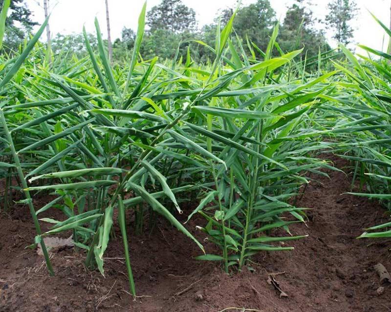 Как фермеры выращивают имбирь