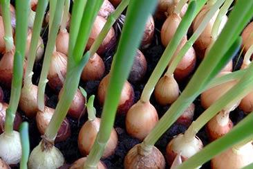 Как вырастить лук на подоконнике