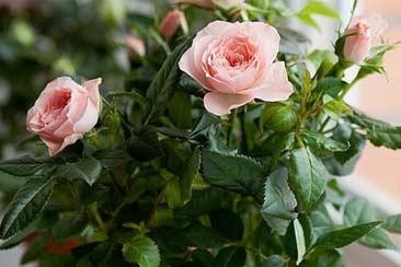 Как вырастить розу в домашних условиях