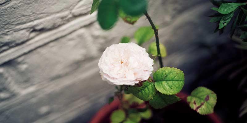 роза в горшках
