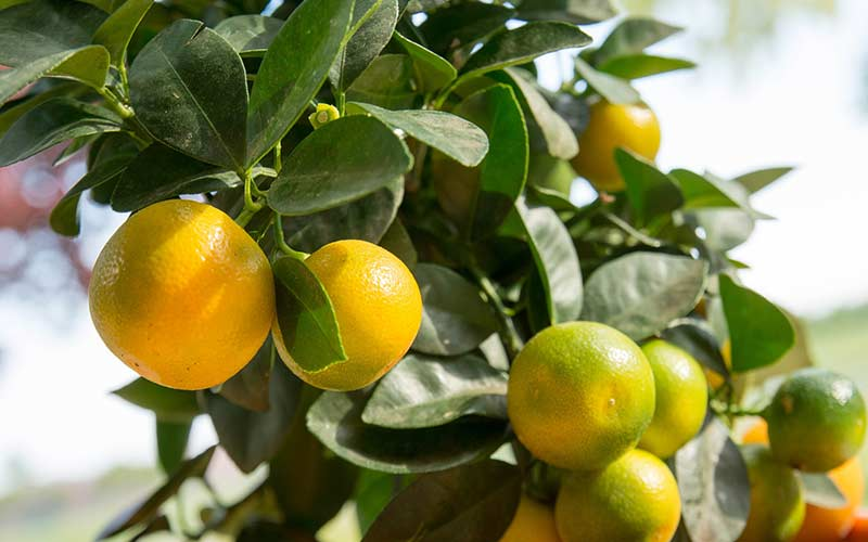 Созревающие плоды на Цитрофортунелле