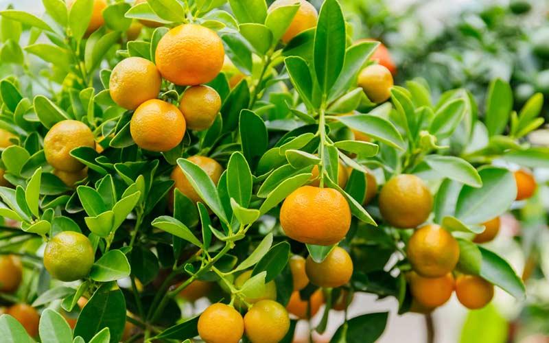 Спелые плоды Каламондина, которые реально вырастить в квартире