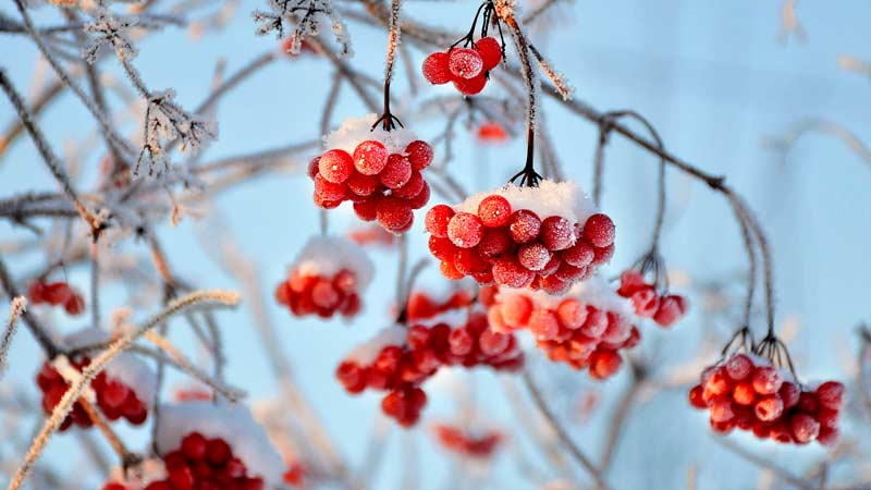 Калина красная после заморозка