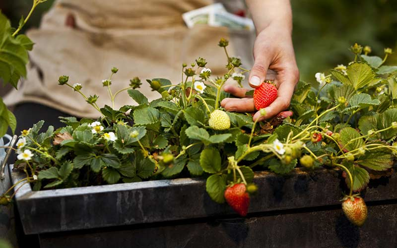 Выращивание клубники в контейнере