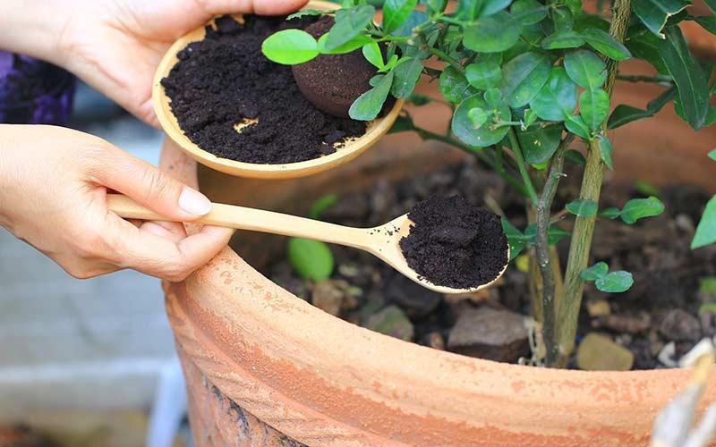 Кофейная гуща используется в качестве удобрения для комнатных растений