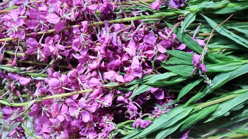 Копорский чай (иван-чай) лечебные свойства