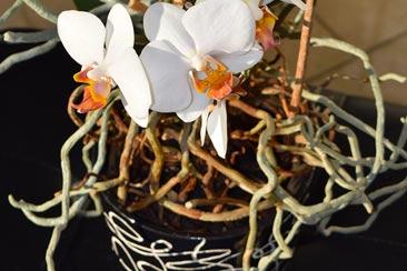 Что если корни орхидеи вылазят из горшка?