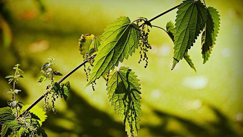 Крапива двудомная: лечебные свойства и противопоказания. Чай из крапивы