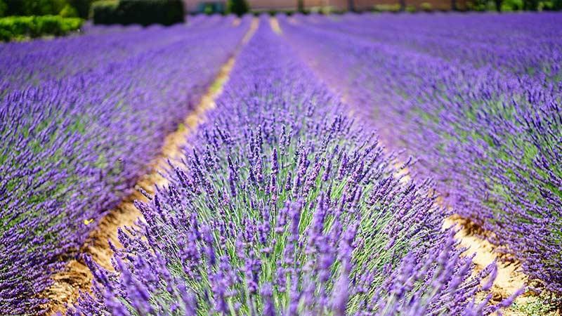Лаванда – особенности выращивания, уход, сбор урожая