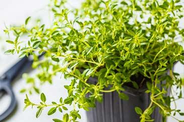 лекарственные травы дома