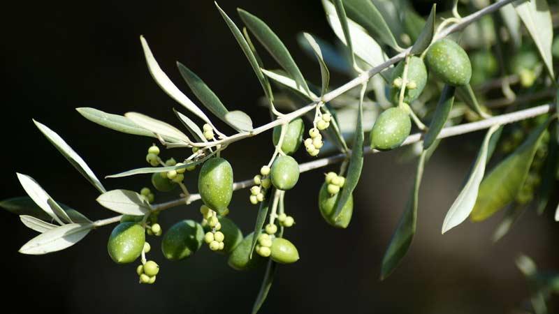 Листья оливкового дерева от паразитов travart.ru