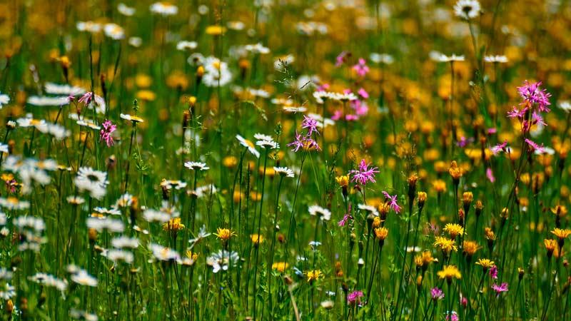 Луговой мёд - цветущие луговые медоносы