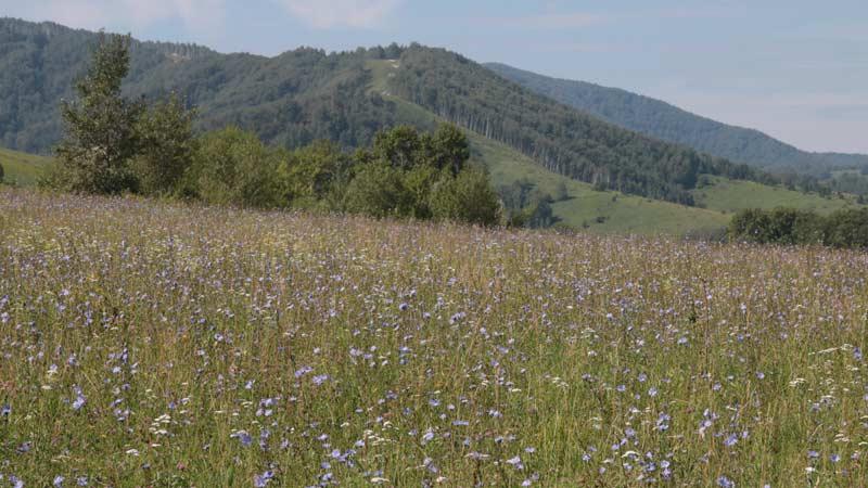 Цветущие луга горного Алтая