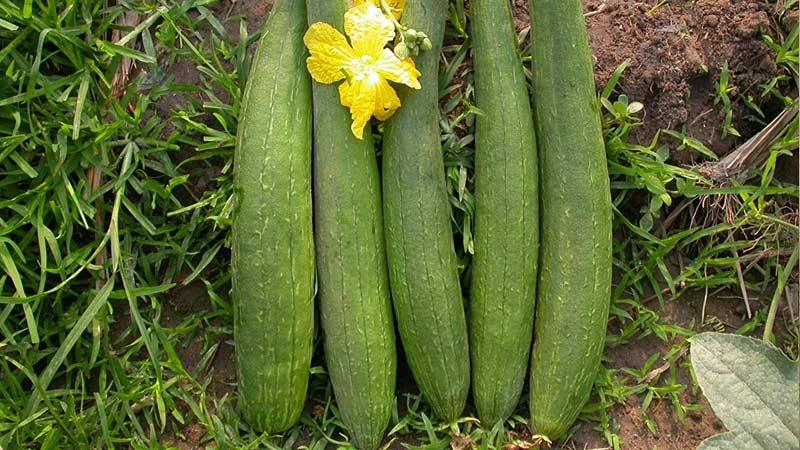 люффа плоды и цветы Траварт