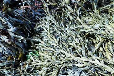 Морские водоросли - польза. Семь причин употреблять морские водоросли