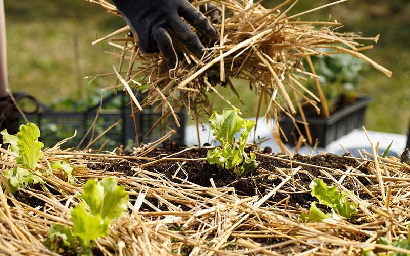 Мульчирование соломой листовых культур