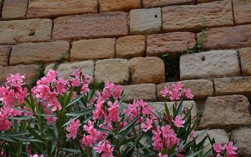 Цветущий Олеандр на фоне стены