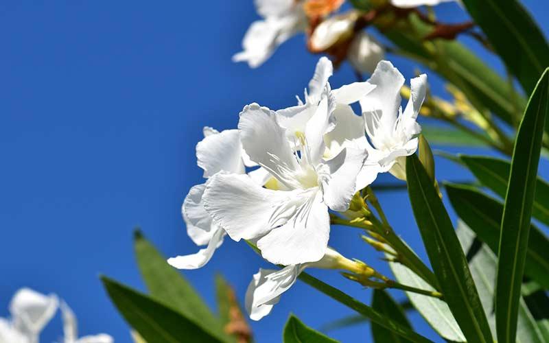 Олеандр цветет белыми цветами