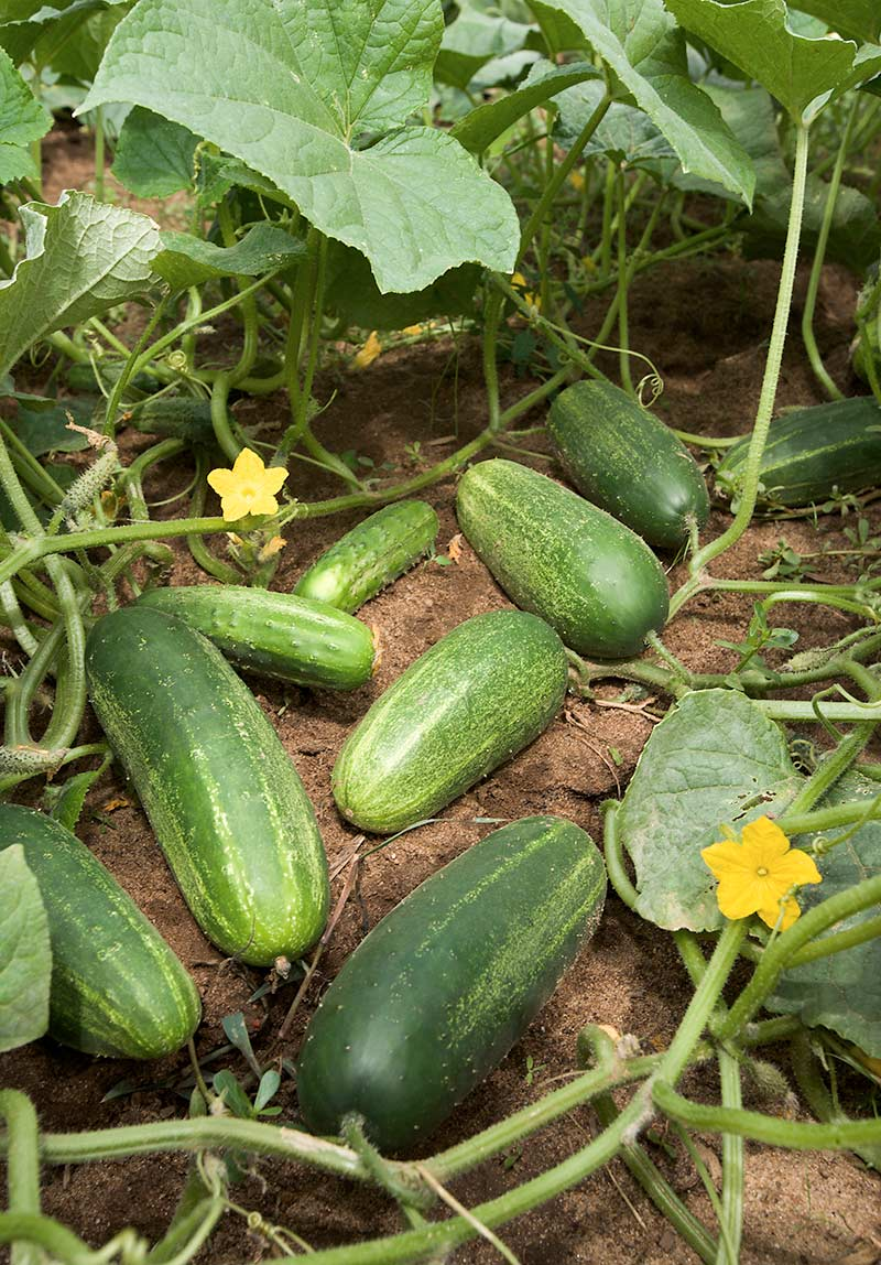 Опыление огурцов вручную увеличивает количество урожая