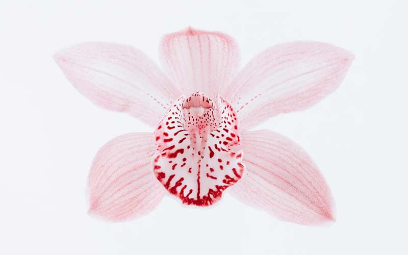 Цветы Орхидея Цимбидиум