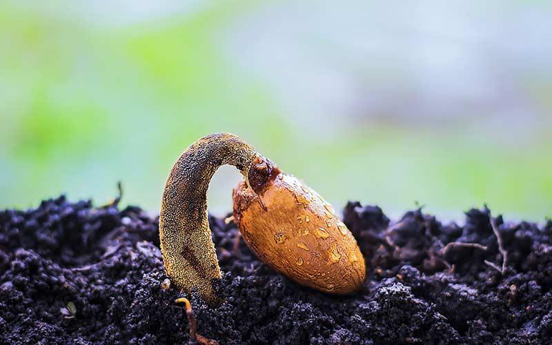 Прорастающее семечко - чудо природы