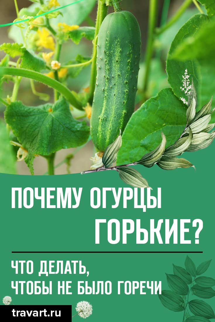 Почему огурцы вырастают горькие?