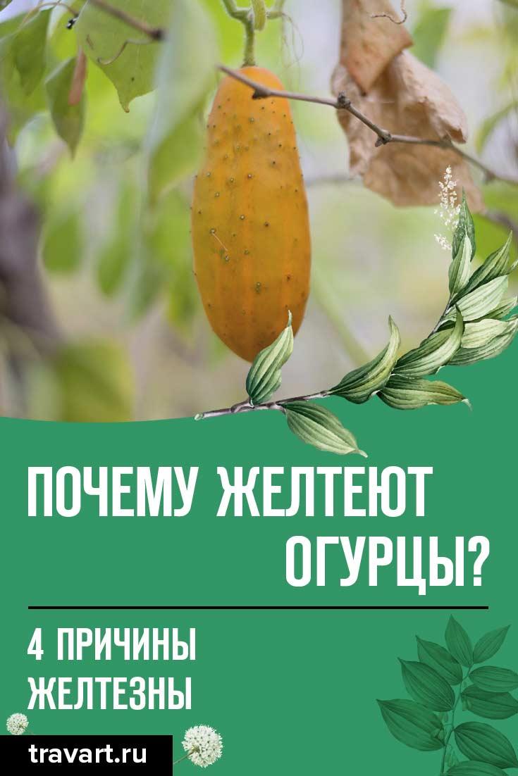 Почему огурцы желтеют?