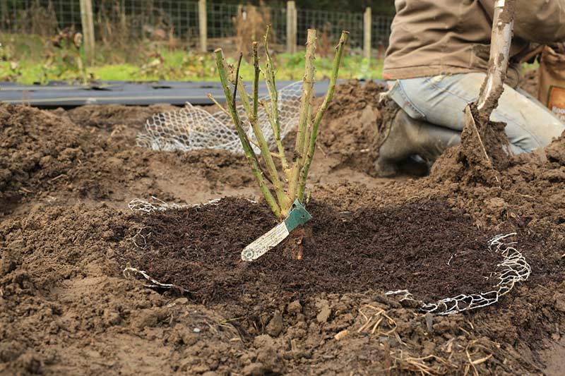 Посадка розы с открытой корневой системой