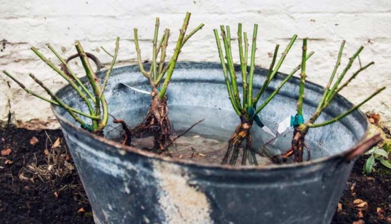 Поместите розы в ведро с водой