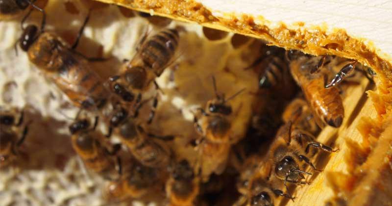 пчелы заделывают прополисом щели