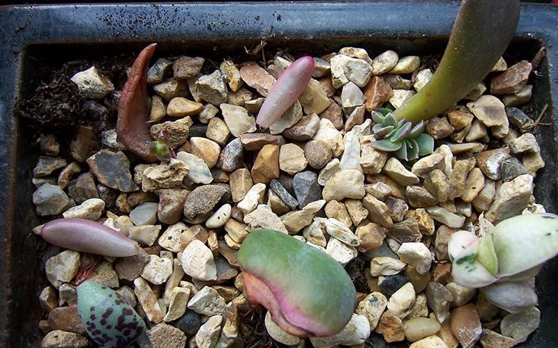 Лист суккулента пустил молодые растения